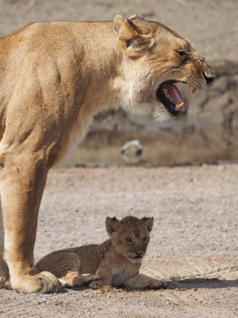 セレンゲティ国立公園 親子ライオン