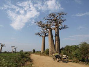 バオバブ並木のアダンソニア グランディディエリ