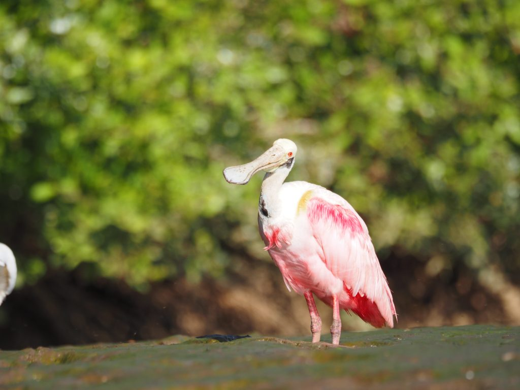 ベニヘラサギ Roseeate Spoonbill