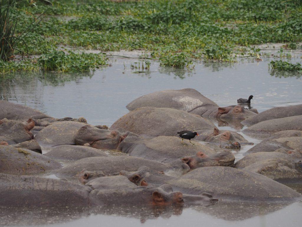 カバは皮膚が弱いので、昼間は水の中にいます