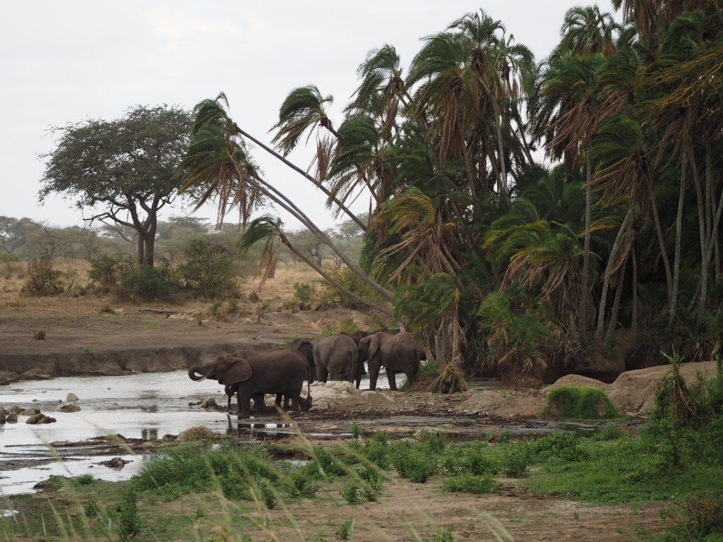 セレンゲティ国立公園のアフリカゾウ
