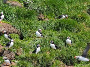 ニューファンドランド島のニシツノメドリ(パフィン) Atlantic Puffin