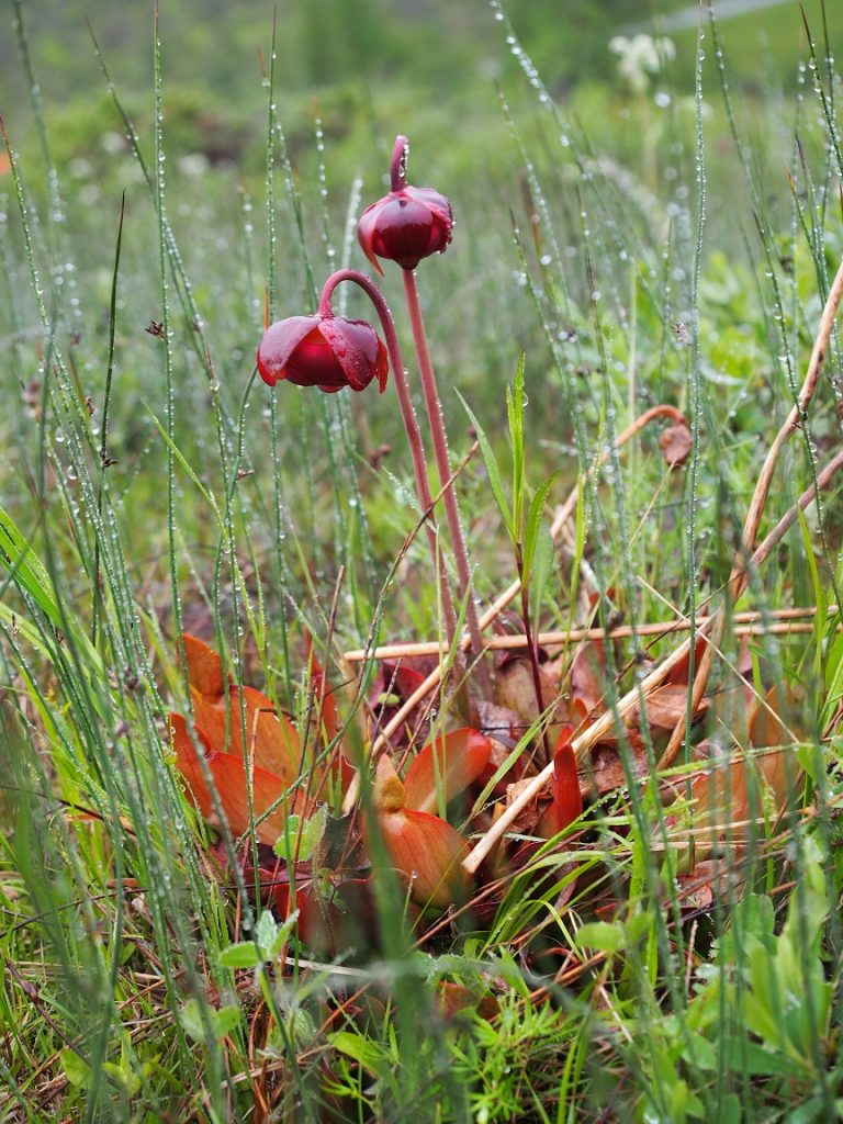 カナダ・ニューファンドランド島で見た食虫植物 サラセニア プルㇷ゚レア