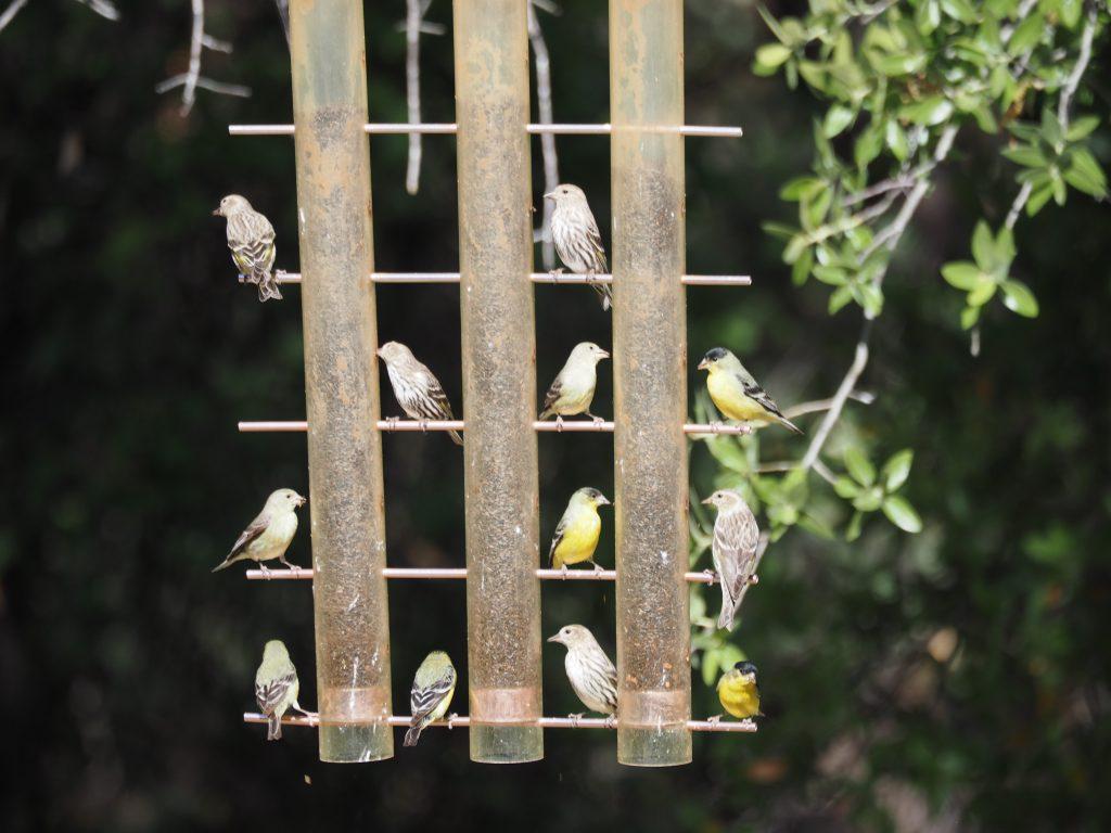アリゾナの小鳥たち