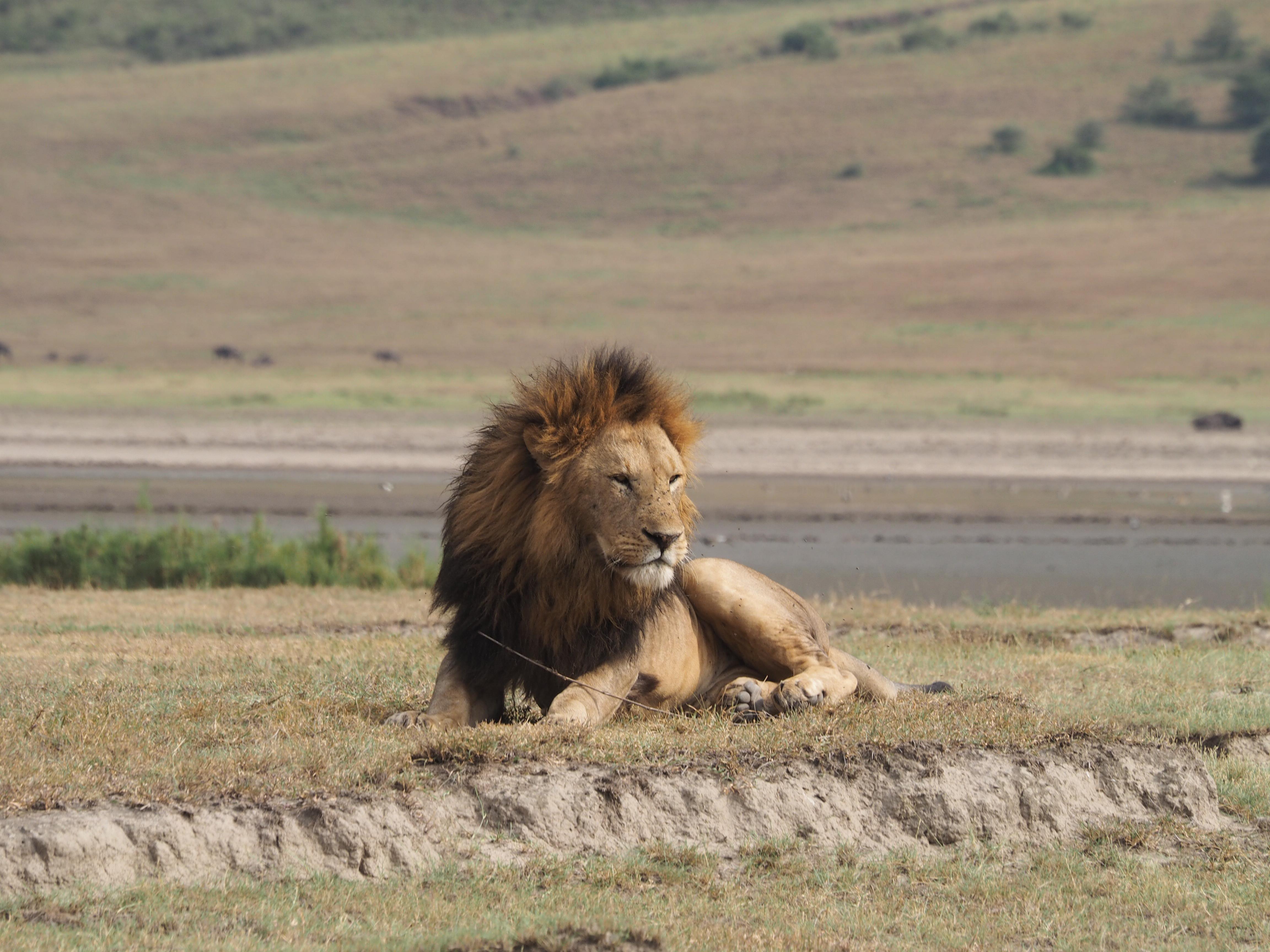 ンゴロンゴロ自然保護区のライオン