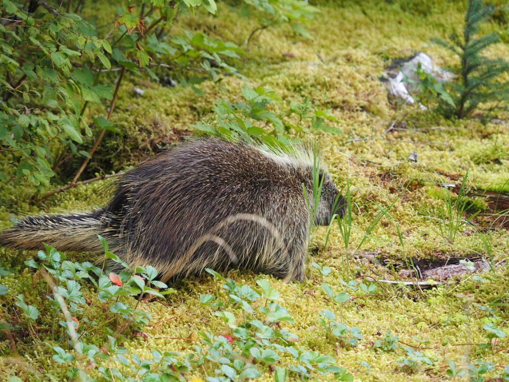 ヤマアラシって知っていますか? ハリネズミ見たいに背中に針状の毛を持つ動物ですが、アフリカにいるのと違う種類でした。