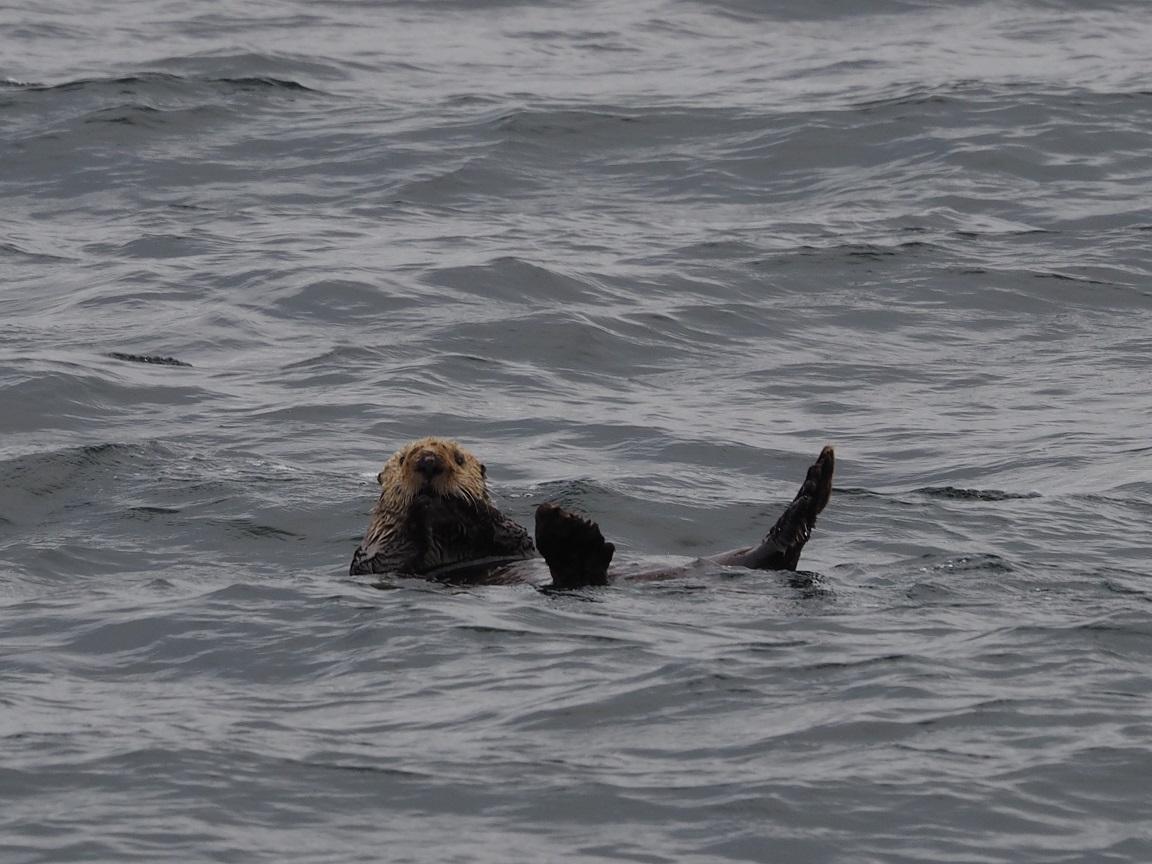 アラスカでラッコに出会えます! 海の上でラッコを探していると、別のものに見えますがさて、なんでしょう?