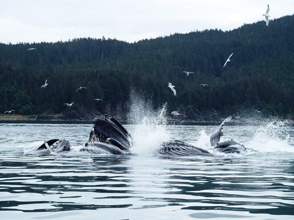 アラスカ州のジュノーで、ザトウクジラのバブルネットフィーディングに幸運にも遭遇できました!