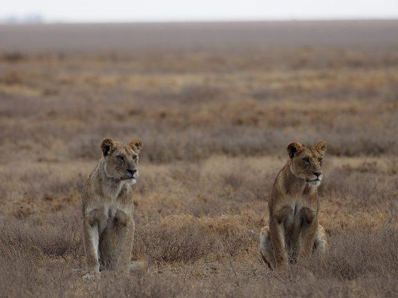 アフリカ タンザニアのサファリの動物たち M ZUIKO DIGITAL ED 300mmのすごさを知る!