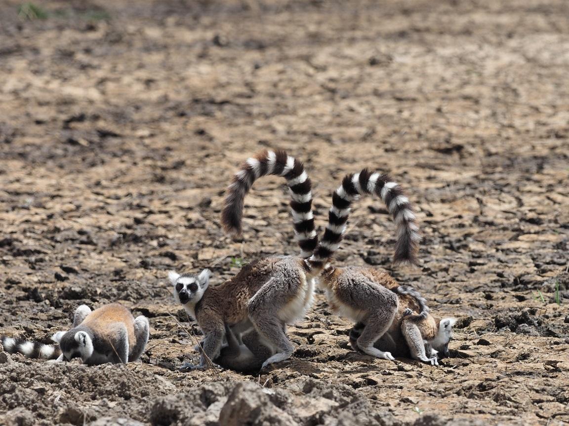 マダガスカルで名の知れたワオキツネザルとアイアイ それは原猿(レムール)です