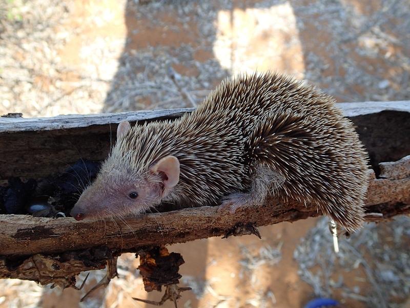 マダガスカルの動物、テンレック(Lesser Hedgehog Tenrec)を紹介!