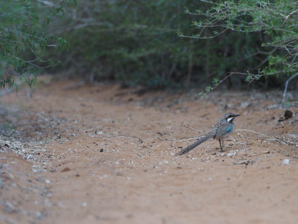 オナガジブッポウソウというマダガスカル固有の美しい鳥オナガジブッポウソウというマダガスカル固有の美しい鳥