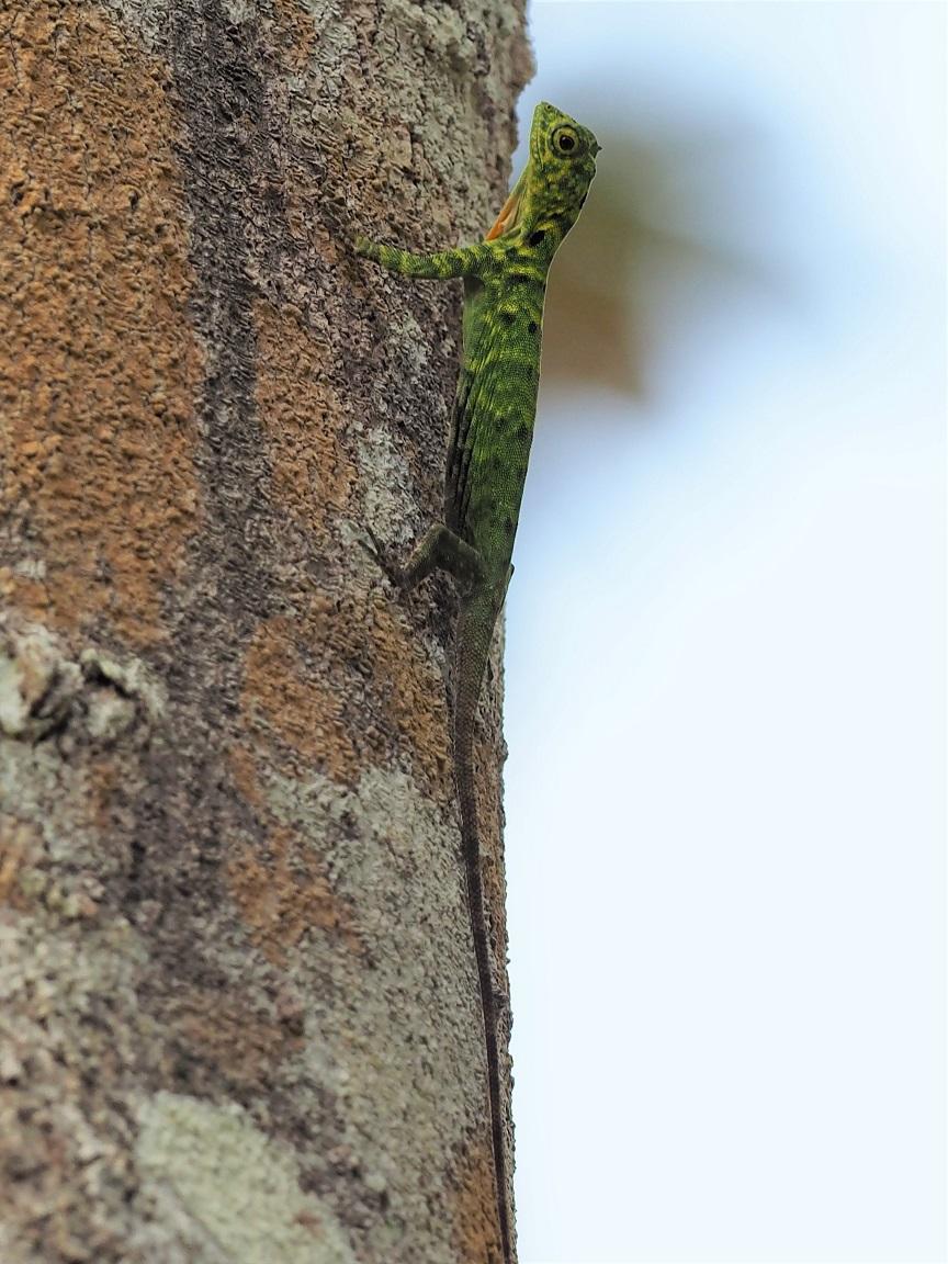 トビトカゲ(フライングリザード)は空を飛ぶ! 羽はイメージと違って・・・