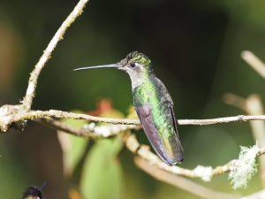 アオノドハチドリ♀ Magnificient Hummingbird