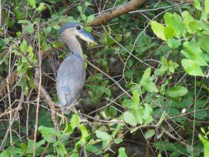 ヒロハシサギ Boat-billed Heron