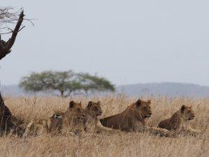 セレンゲティ国立公園 ライオンの群れ