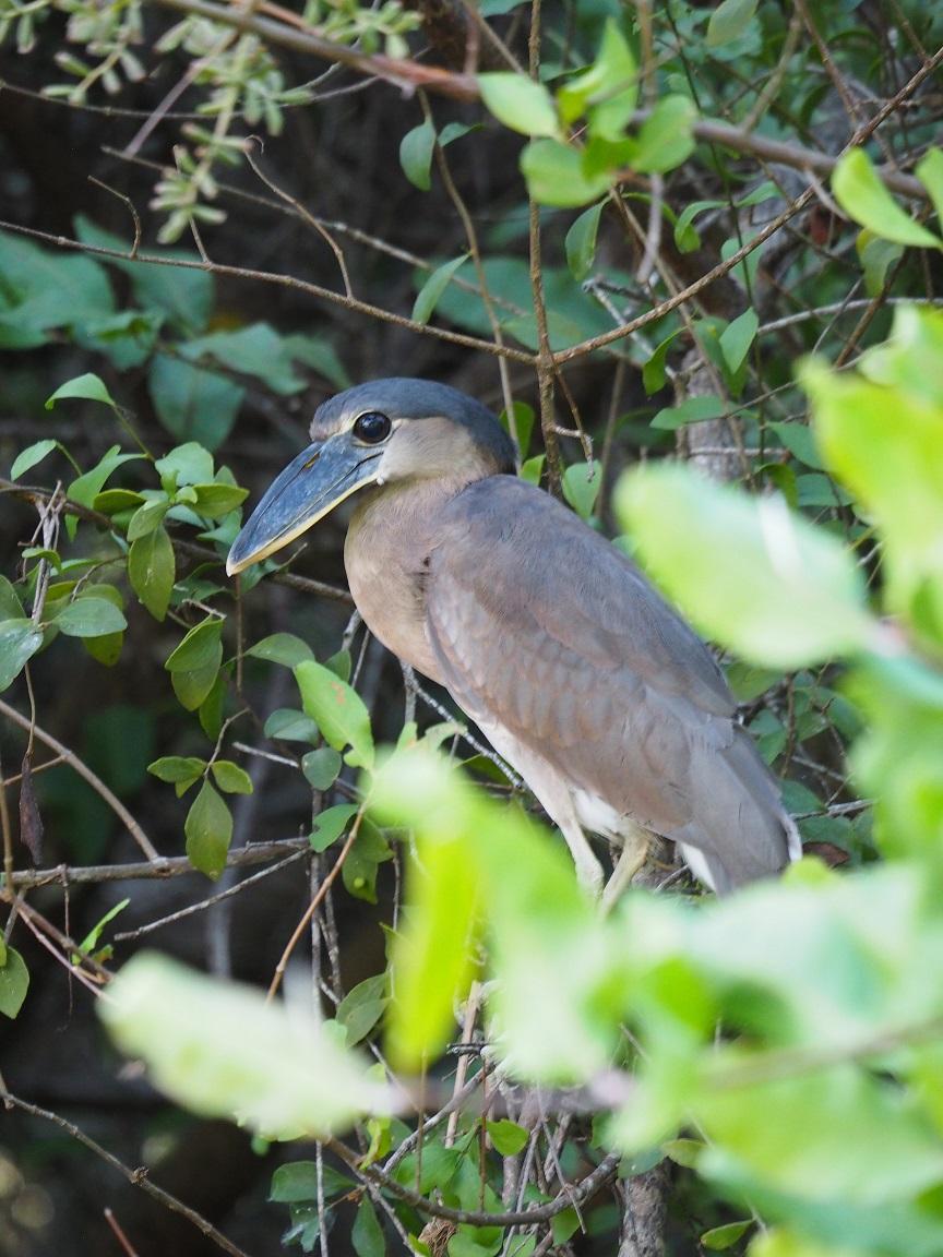 南米に広く分布するヒロハシサギ Boat-billed Heron