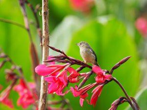 コスタリカの鳥 ウスズミハナサシミツドリ Slaty Flowerpiercer