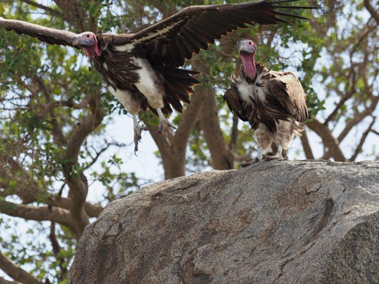 アフリカで最大のハゲワシ ミミヒダハゲワシ