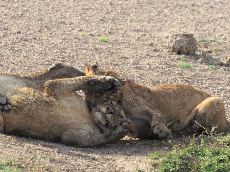 セレンゲティ国立公園の食事直後のくつろぐライオンたち