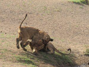 じゃれあう子ライオン