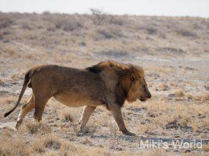 ライオン エトーシャ国立公園撮影
