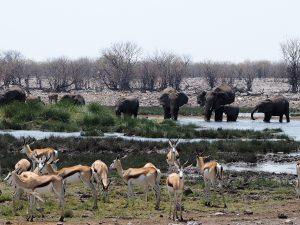 アフリカゾウとスプリングボック
