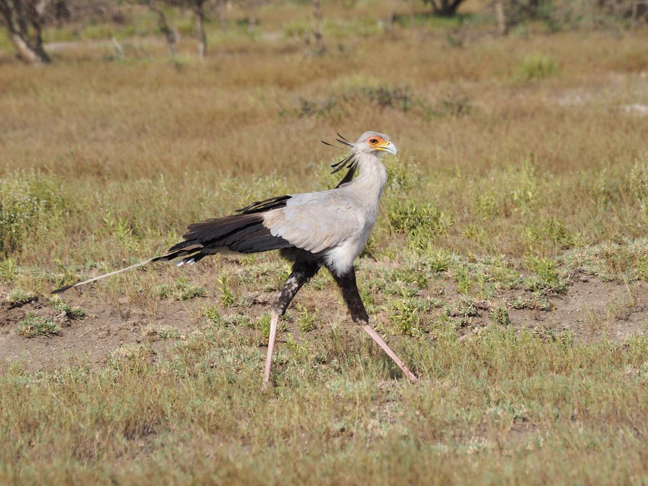 ヘビクイワシ(Secretarybird)姿は優雅で、動きはコミカル
