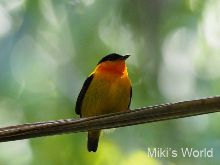 コスタリカのオレンジマイコドリ