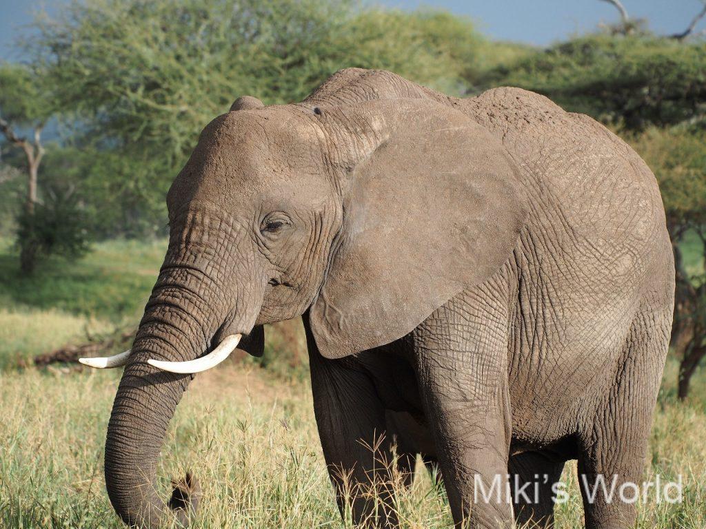 タンザニアのアフリカゾウ