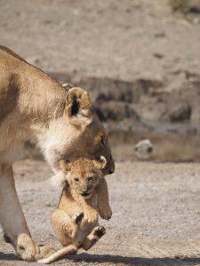 いうこと聞かない仔ライオンをくわえる母ライオン