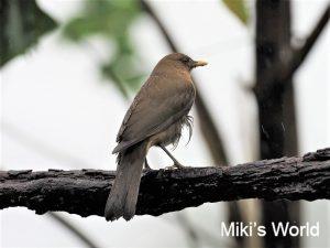 バフムジツグミ コスタリカの国鳥 Clay-colored Thrush