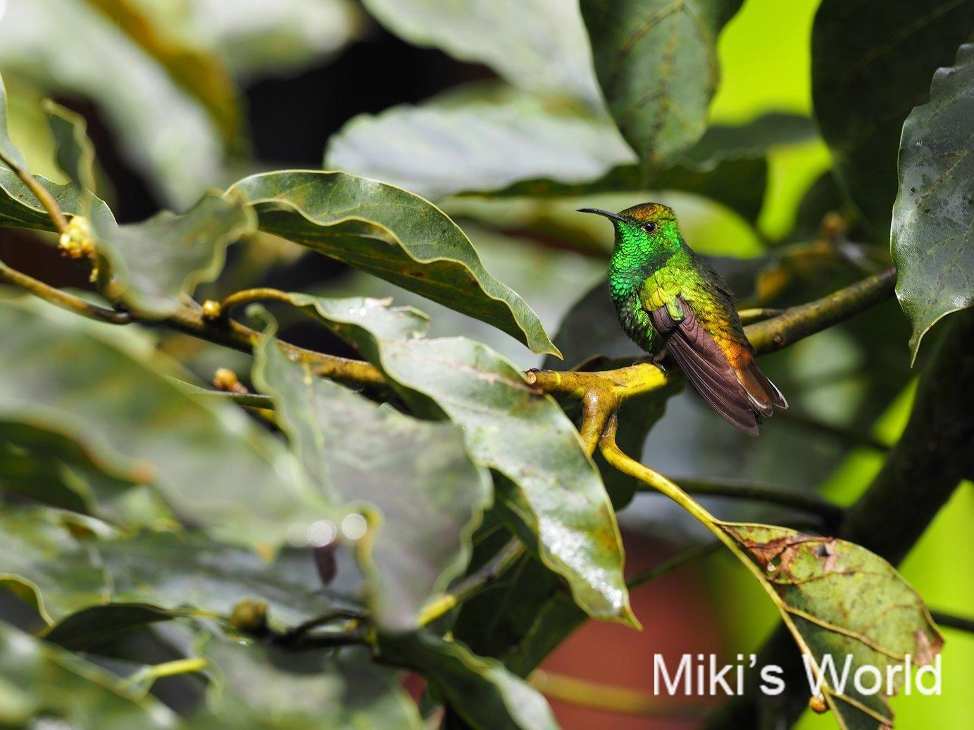 コスタリカで撮影 ドウボウシハチドリ