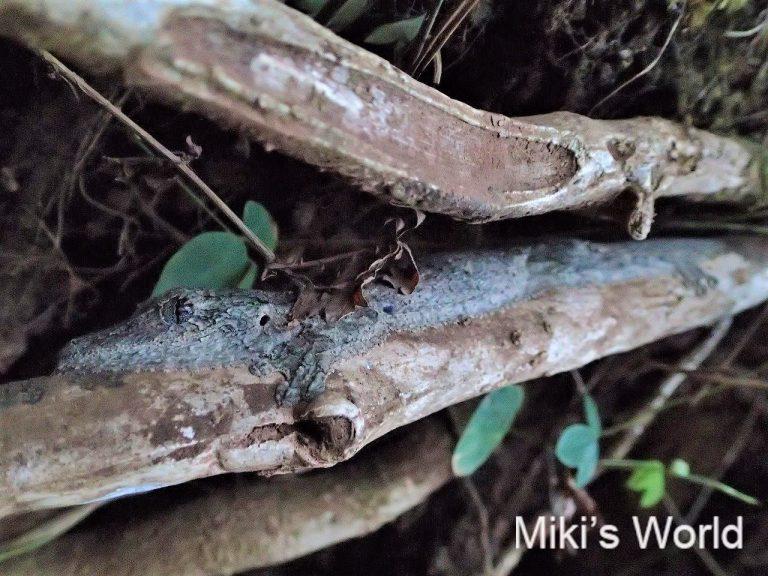 マダガスカルのヘラオヤモリ