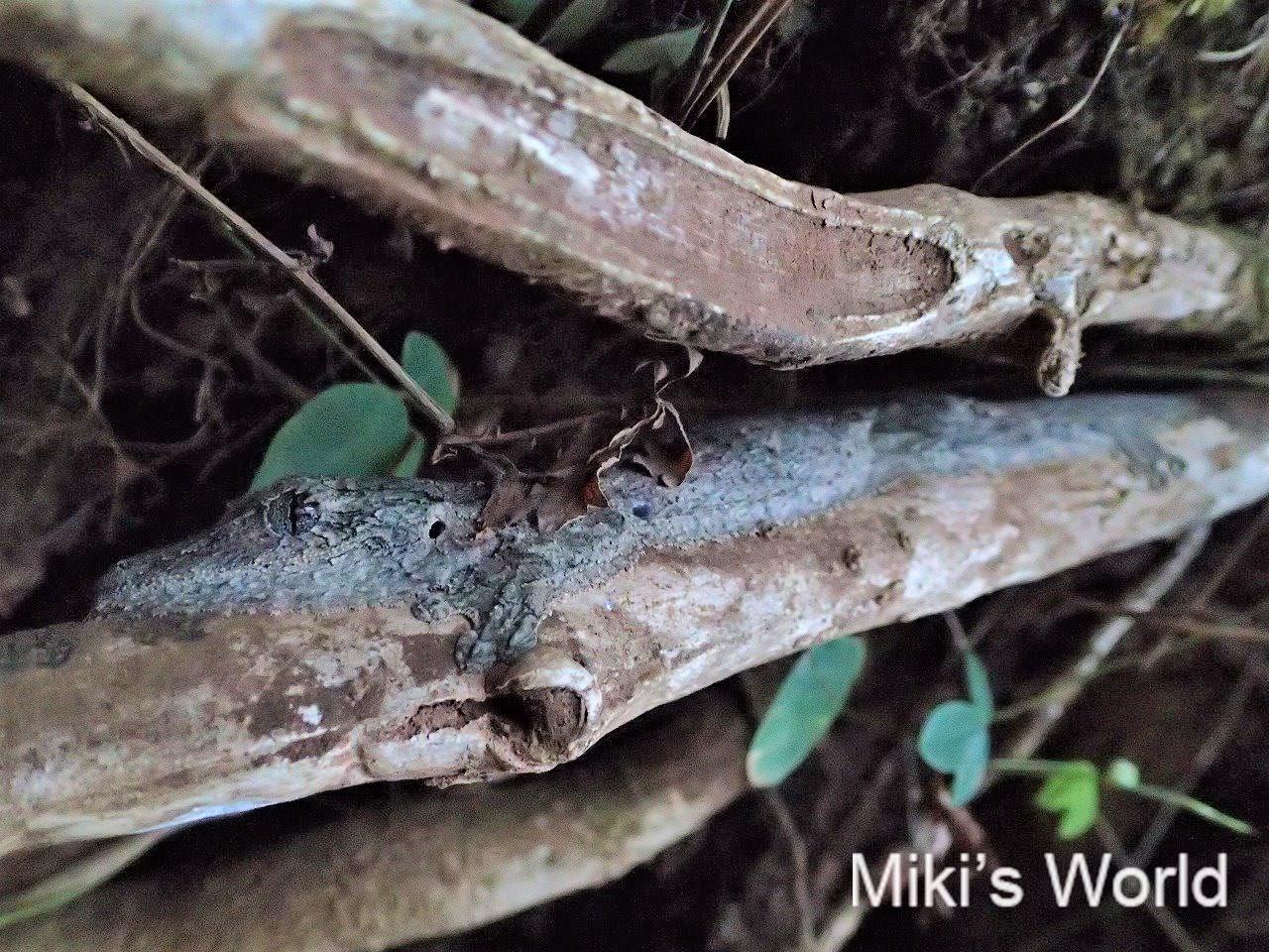 マダガスカル アジアなアフリカにいる忍者みたいなヘラオヤモリ