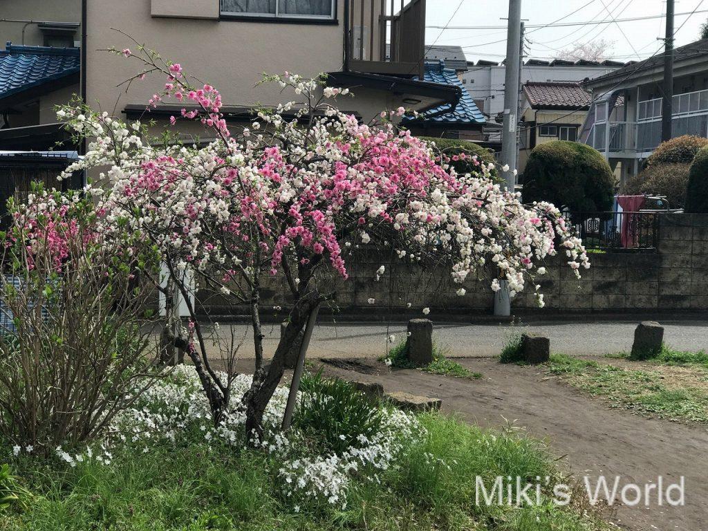 枝垂桜系?