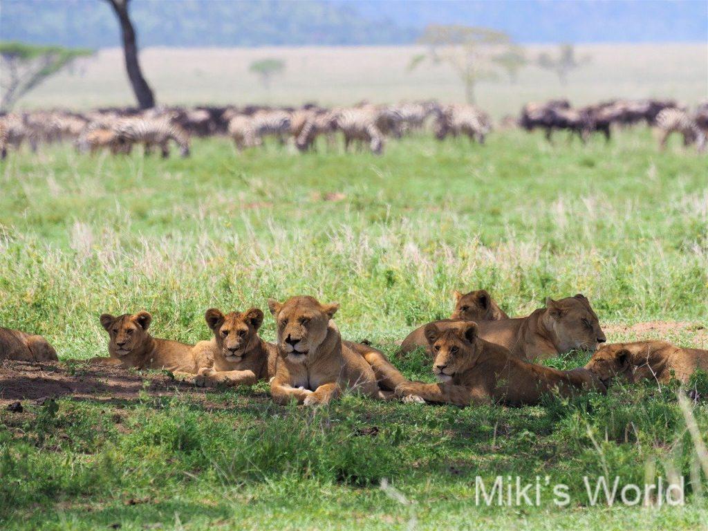 木陰で休むライオン