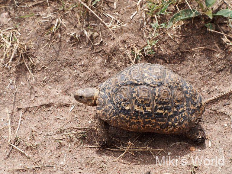 タンザニア ヒョウモンリクガメ Leopard Tortoise
