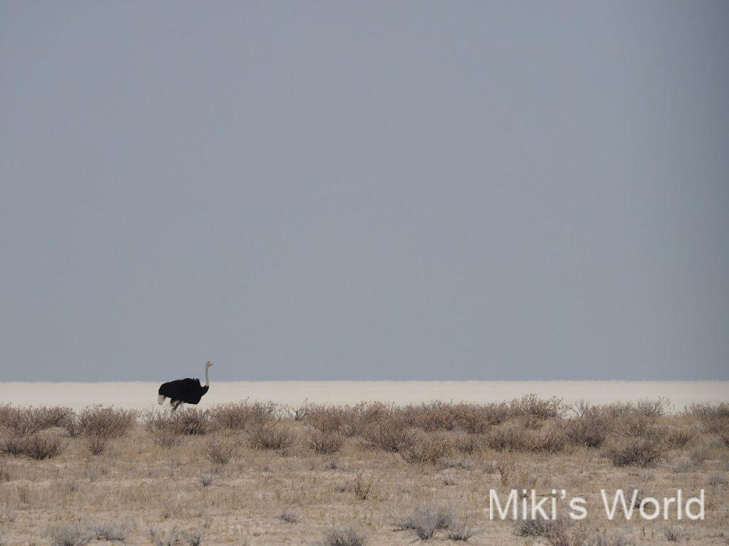 ナミビア エトーシャ国立公園で見たダチョウの雄