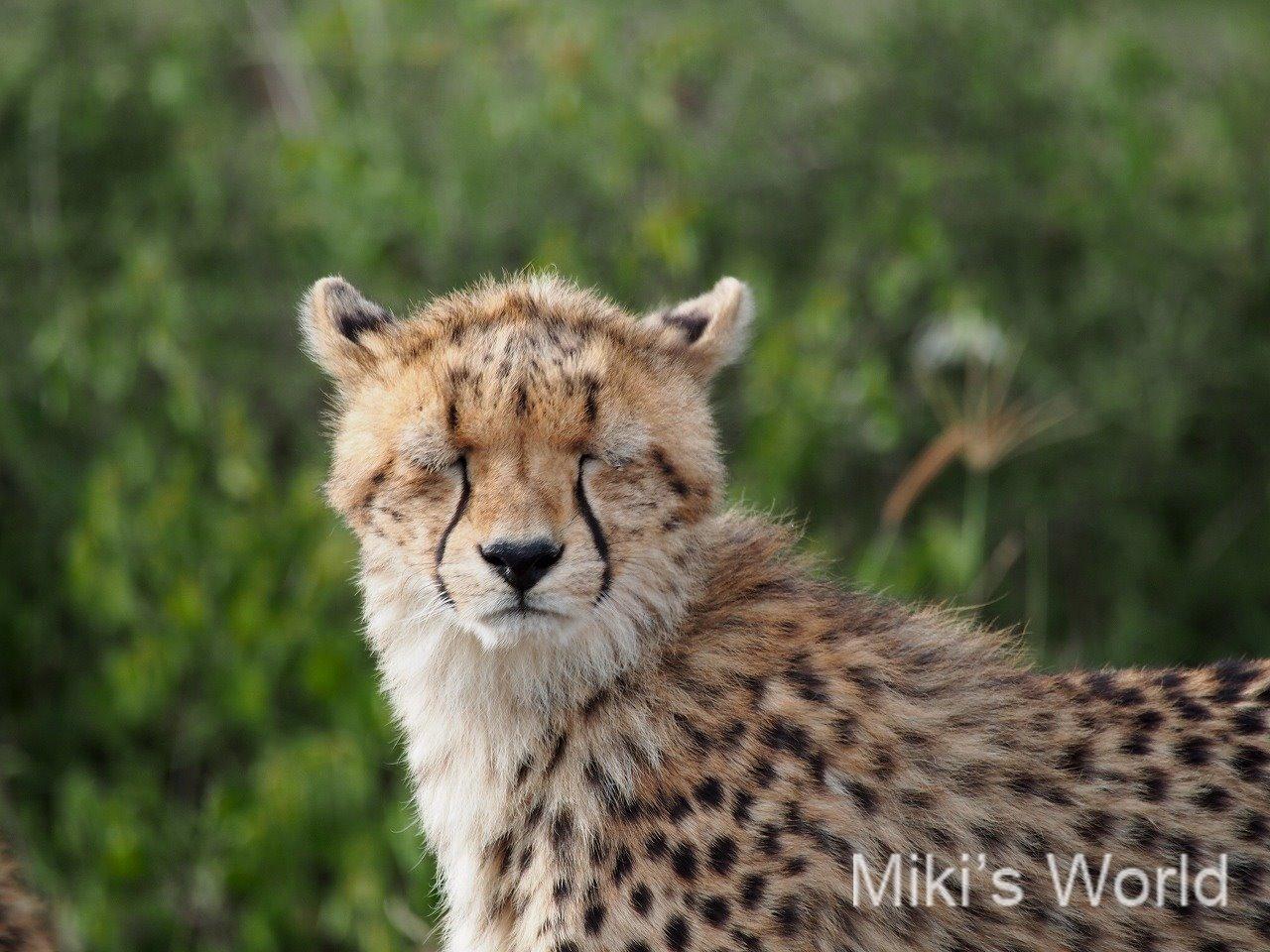 ネコ科の動物その2 チーター Cheetah(セレンゲティ国立公園)