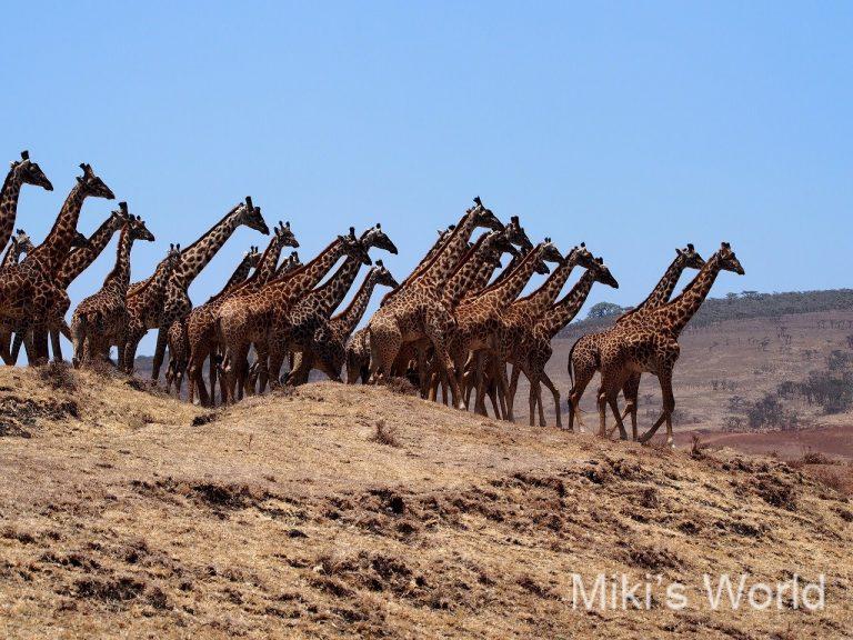 キリン44頭の群れ