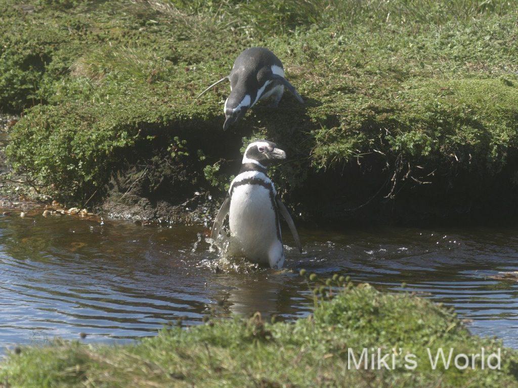 陸地の移動は大変なマゼランペンギン
