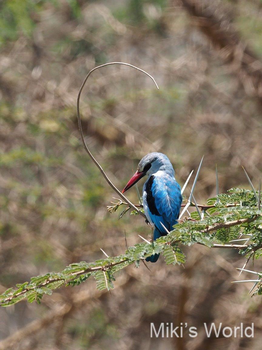 セネガルショウビン タンザニアで撮影