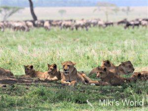 セレンゲティ国立公園のライオン