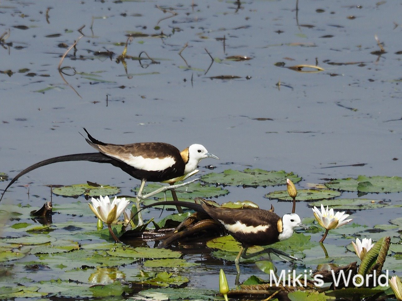 スリランカで撮影 レンカク成鳥
