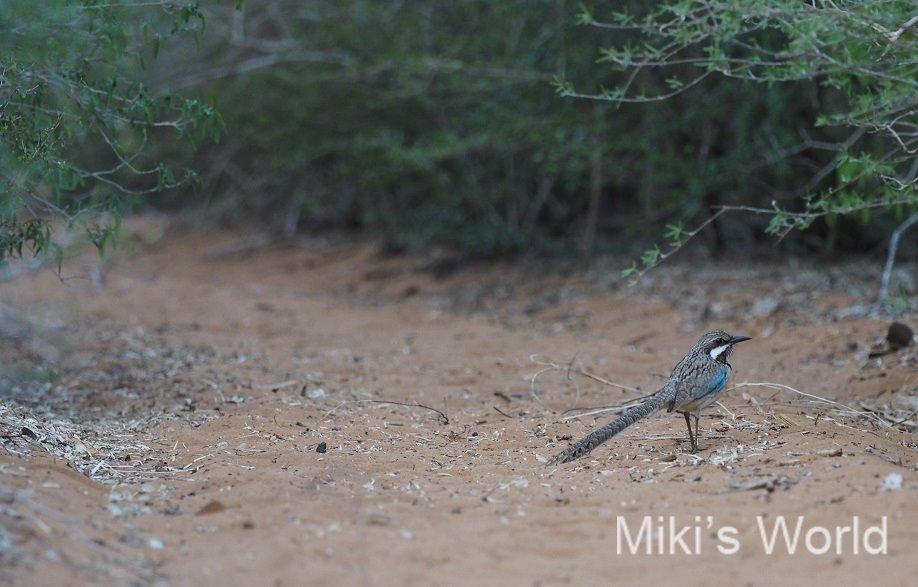 オナガジブッポウソウ マダガスカルの鳥