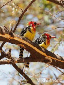 ホオアカオナガゴシキドリ タンザニアで撮影