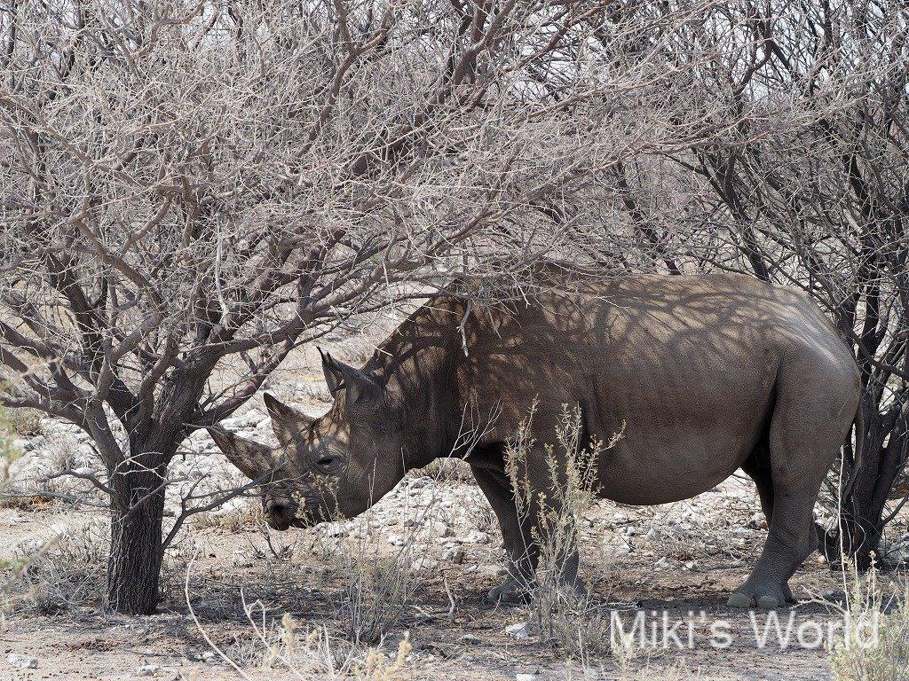 クロサイ ナミビア エトーシャ国立公園
