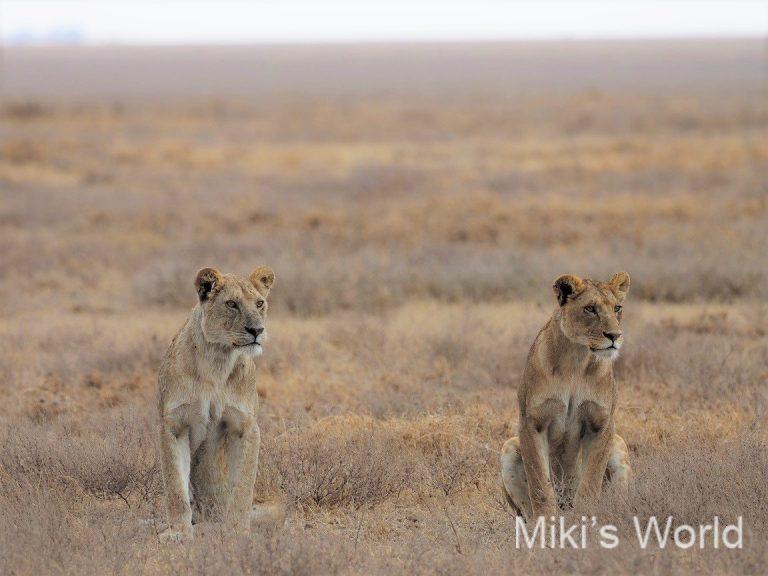 セレンゲティのライオン