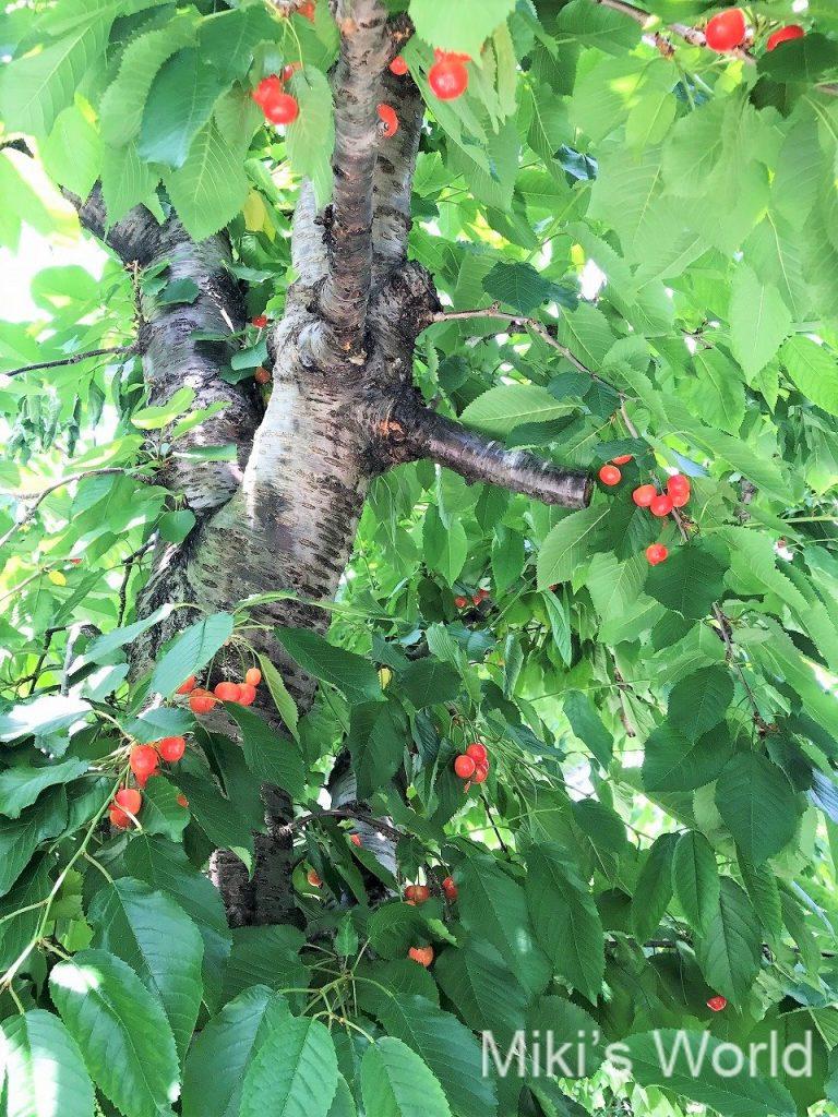 サクランボの樹